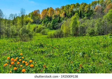 Bright orange wild flowers on the flowering spring meadow . Globe-flowers (Trollius asiaticus) on background of forest on hill with colorful young leaves. Beautiful spring rural landscape