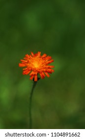 bright orange wildflower, pilosella aurantiaca, fox-and-cubs, orange hawk bit, devil's paintbrush, grim-the-collier against green bokeh background