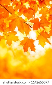 Bright Orange Yellow Maple Leaf Background With Copy Space