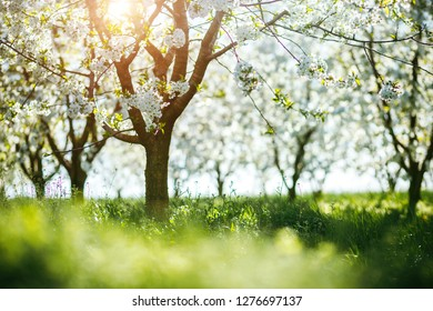 Bright ornamental garden with blooming lush trees on a sunny day. Concept of the ecology. Soft focus image. Flowering orchard in spring time. Attractive scene of a countryside. Beauty of earth.