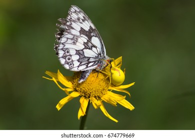 bright pattern of butterfly with black structure give nice contrast to orange yellow color of flower in beech forest of south germany