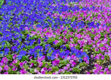 Bright picturesque flowerbed, violet and pink flowers pansy on a sunny day. Natural scenic background