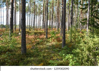 Bright pine tree forest by early fall season