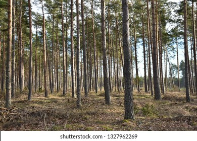 Bright pine tree forest by springtime