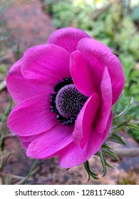 Bright pink anemone coronaria flower in an English garden. A very pretty spring winter/spring flowering herbaceous perennial plant