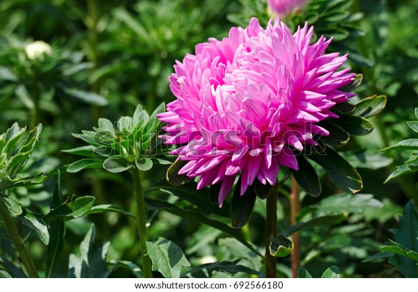 Bright pink aster flower on flowerbed in city park.