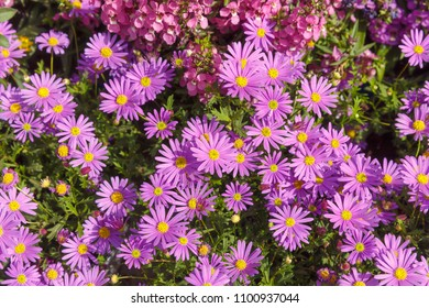 Bright pink asters background