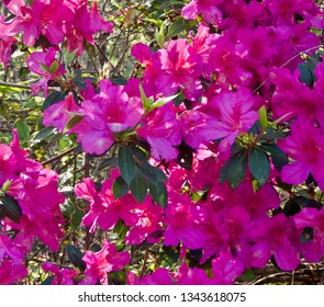 Bright Pink Azaleas in the spring