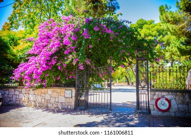 Bright pink bush of Bougainvilleas blooming near the garden entrance gate, Spain