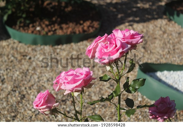 bright-pink-bush-rose-blooming-600w-1928