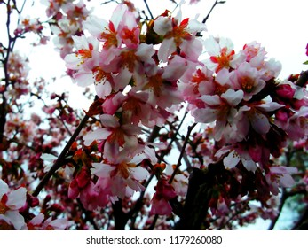 Bright pink cherry blossoms in the sunlight. Floriculture and gardening. The festival of Hanami