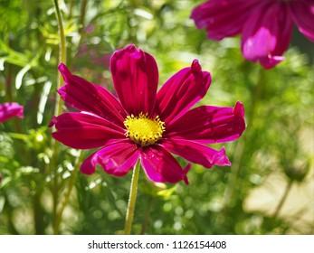 Bright pink Cosmos flower in a garden