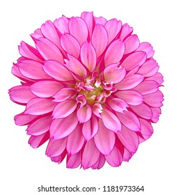A bright pink Dahlia flower isolated on a light background