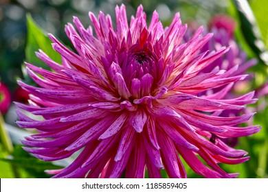 Bright Pink Dahlia, isolated, closeup