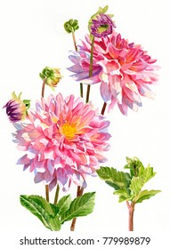 Bright pink dahlias with buds watercolor illustration white background