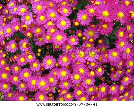 Bright pink fall flowers yellow centers stock photo edit now bright pink fall flowers with yellow centers mightylinksfo