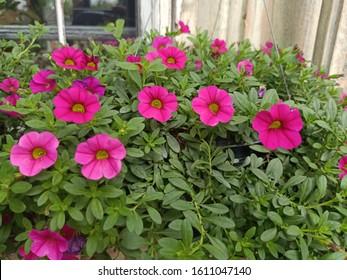 bright pink flower in a garden.