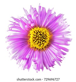 Bright pink flower with long petals isolated on white background. Pink aster flower with yellow center