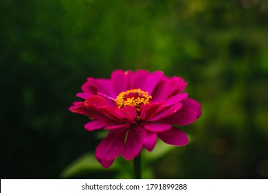 bright pink flower zinnia on the green background in summer day