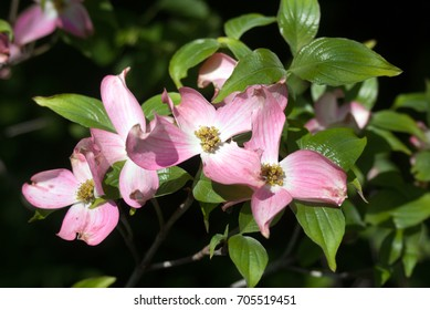 Bright pink flowering dogwood blossoms