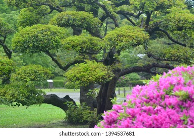 The bright pink flowers of an azaela bush contrast against the formal shaping of a large Japanese black pine tree. Pathways of a park are in the background.