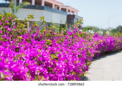 Bright pink flowers in flowerbed on the street