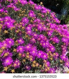 Bright pink flowers in a garden