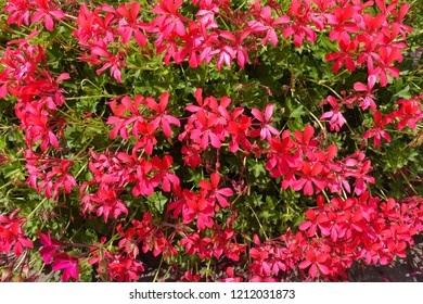 Bright pink flowers of ivy leaved pelargonium