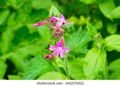 Bright pink flowers of the Red Campion set against green foliage on a bright spring day.