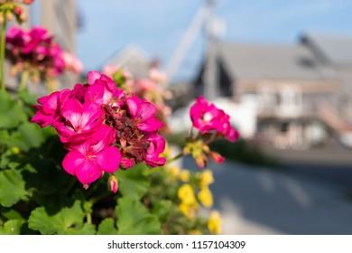 Bright pink flowers in a window box near a street in Belfast, Maine in the summer.