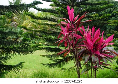 Bright pink foliage on a tropical small tree on the island of La Réunion, France