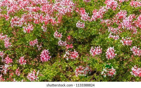 Bright pink geranium  flowers on bush background in Jerusalem