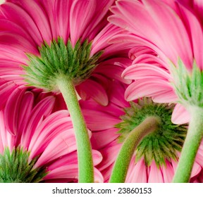 Bright pink gerber daisies. View from behind showing stem and base of flower. Shallow depth of focus for beautiful mood.