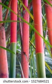 Bright pink and green close up of sealing wax bamboo trunks in Sepilock, Sabah, Borneo, Malaysia.