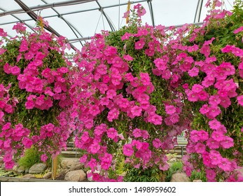 bright pink hanging petunia pots in greenhouse