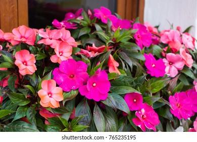 Bright pink impatiens hawkeri, the New Guinea impatiens, in bloom