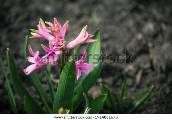 bright-pink-inflorescence-hyacinth-flowe