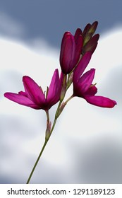 Bright pink Ixia corn Lily. Garden Flower. white cloud background.