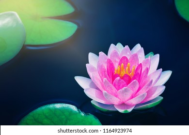 bright pink lotus water lily flower blooming on dark surface pond, aquatic plant, nature background, symbol of buddhism.
