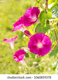 Bright pink Morning Glory flowers in summer sun