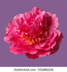 Bright pink peony flower isolated on purple background.