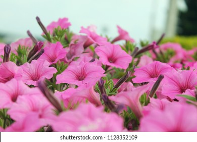 Bright pink petunias in outdoor flower garden bed