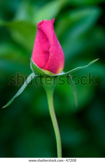 bright pink rose bud
