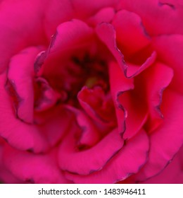 Bright pink rose close-up in nature