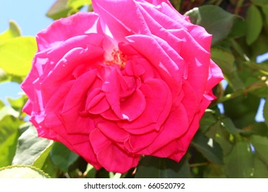 Bright pink rose flower on bush