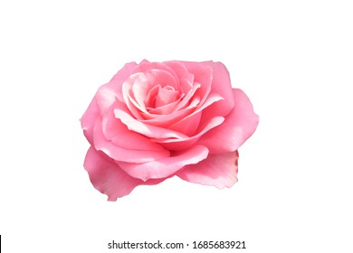 Bright pink rose isolated on white background.