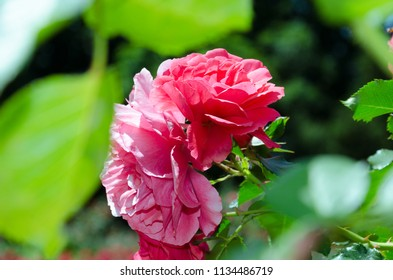 Bright pink roses between blurred green leaves