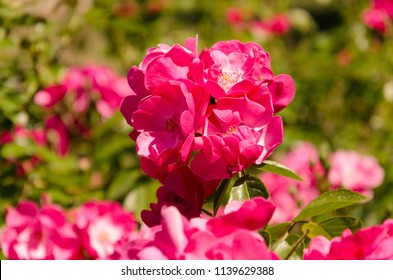 Bright pink roses on blurred pink roses background, roses everywhere