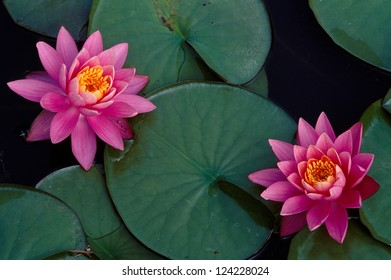 Bright pink water lilies floating on a calm pond
