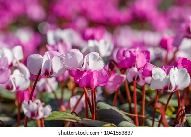 Bright pink and white cyclamen flowers on Sunny spring day. Pink  Cyclamen coum ( eastern sowbread ) and Cyclamen hederifolium ( ivy-leaved cyclamen or sowbread ) flowers on sunny bokeh